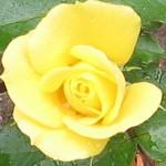 YellowRose4