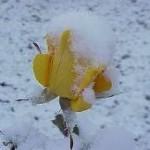 rosesnow