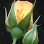 rose10-16-copy